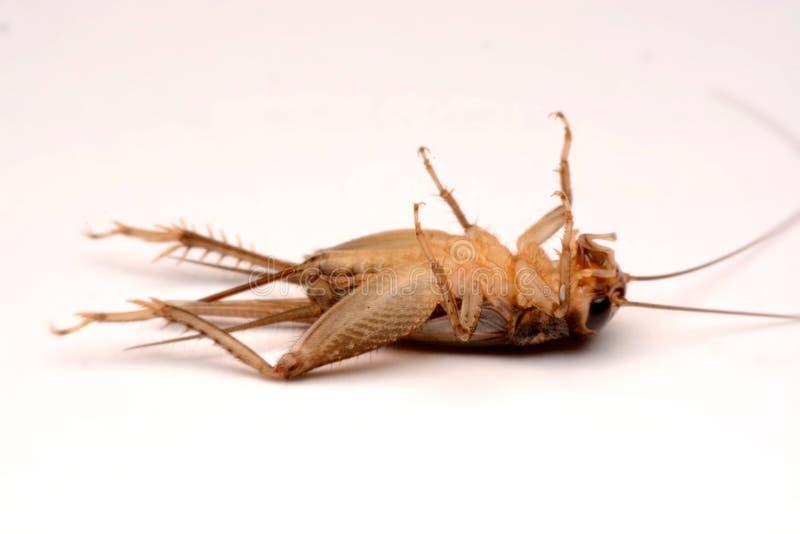 Gryllidae,在白色背景隔绝的直翅类 图库摄影