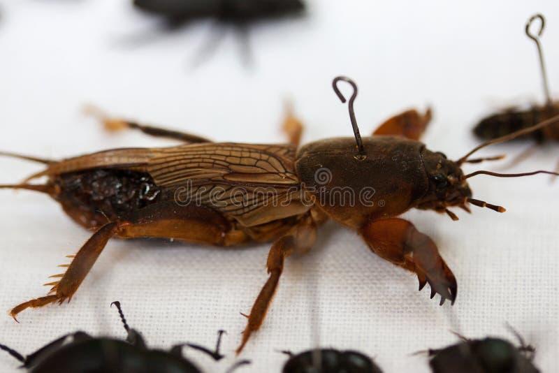 Gryllotalpidae бич сада стоковое фото