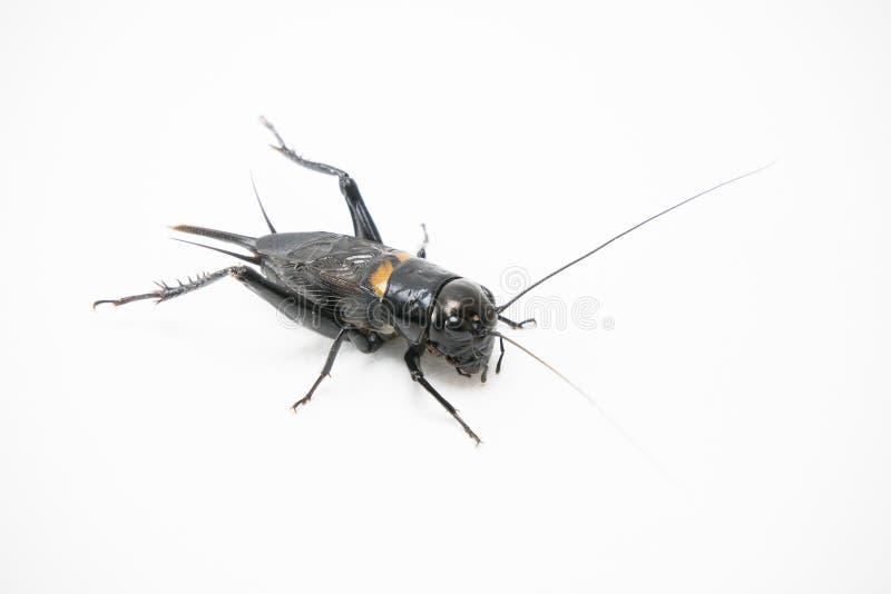 Gryllus在白色背景隔绝的bimaculatus蟋蟀 免版税图库摄影