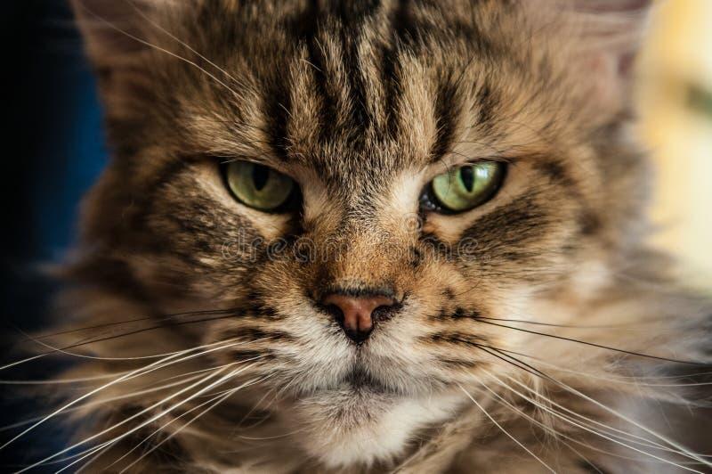 Grym katt från kalla Sibirien royaltyfri foto