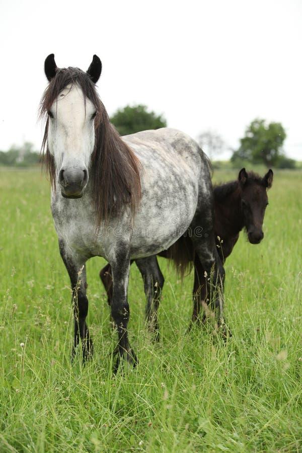 Grym ponnysto med fölet royaltyfria bilder