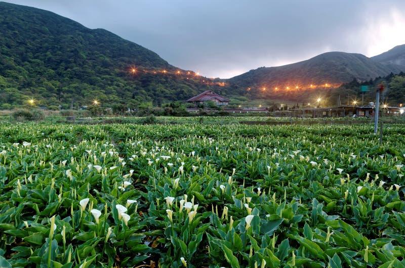Gryninglandskap av ett fält för blomma för callalilja, en turist- lantgård i den Yangmingshan nationalparken i förorts- Taipei arkivbild