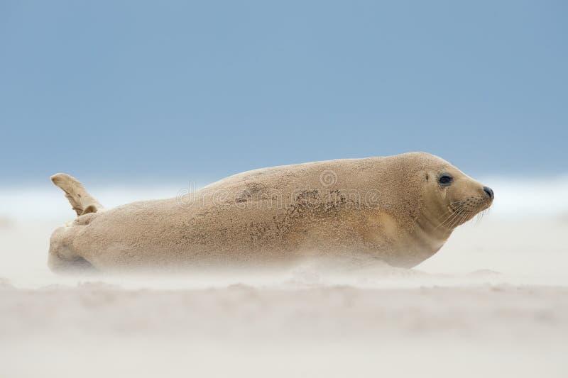 Grypus atlantico di Grey Seal Pup Halichoerus immagini stock libere da diritti