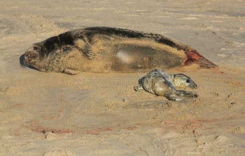 Grypus Halichoerus щенка уплотнения новорожденного серое лежа на пляже около своей отдыхая матери на Horsey, Норфолка, Великобрит стоковое изображение rf