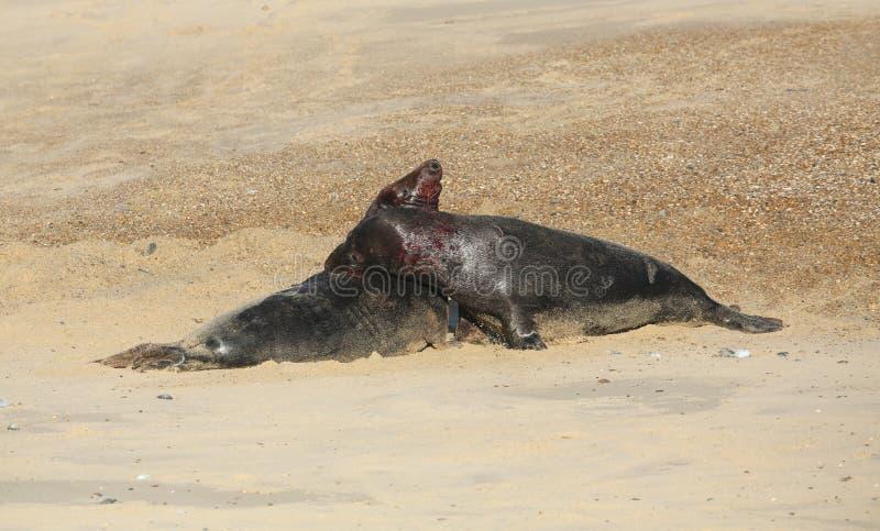 Grypus van twee het vechten grote dominante Grey Seal stierenhalichoerus op een strand in Horsey, Norfolk, het UK stock foto