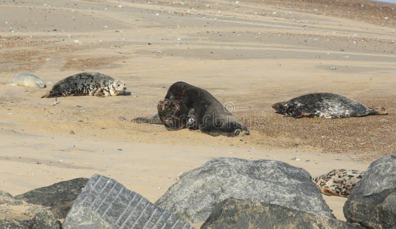 Grypus van twee het vechten grote dominante Grey Seal stierenhalichoerus op een strand in Horsey, Norfolk, het UK stock foto's