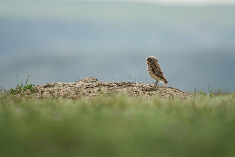 Grzebać sowy w obszaru trawiastego parku narodowym zdjęcie royalty free