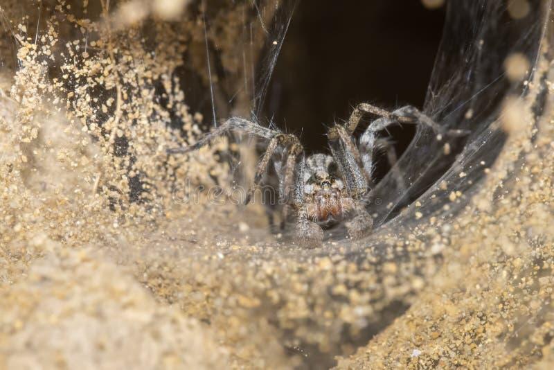 Grzebać Wilczego pająka i sieci wejścia Grzebać na Pawnee zdjęcie royalty free