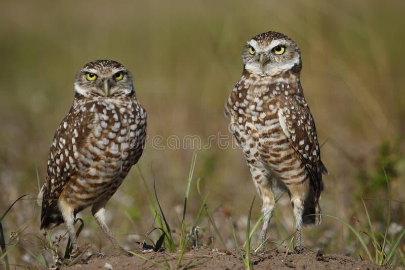 Download Grzebać sowy stoi na ziemi zdjęcie stock. Obraz złożonej z ornitologia - 41950662