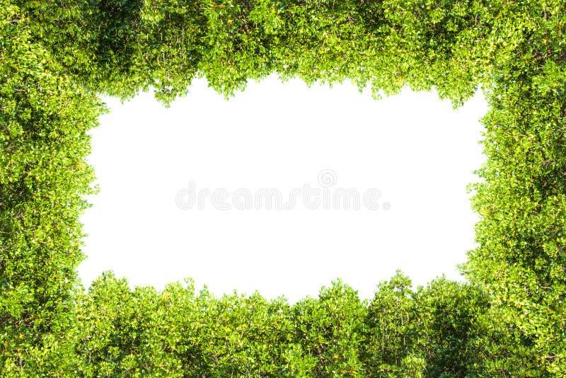 Grzebienia mangrowe odizolowywał granicę dla tła, Zielona roślina obraz stock