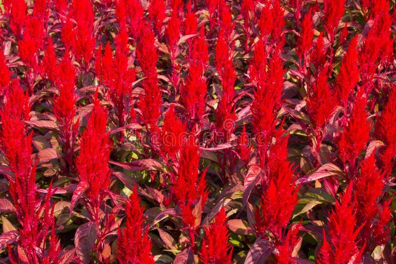 Grzebionatka kwiaty obrazy stock