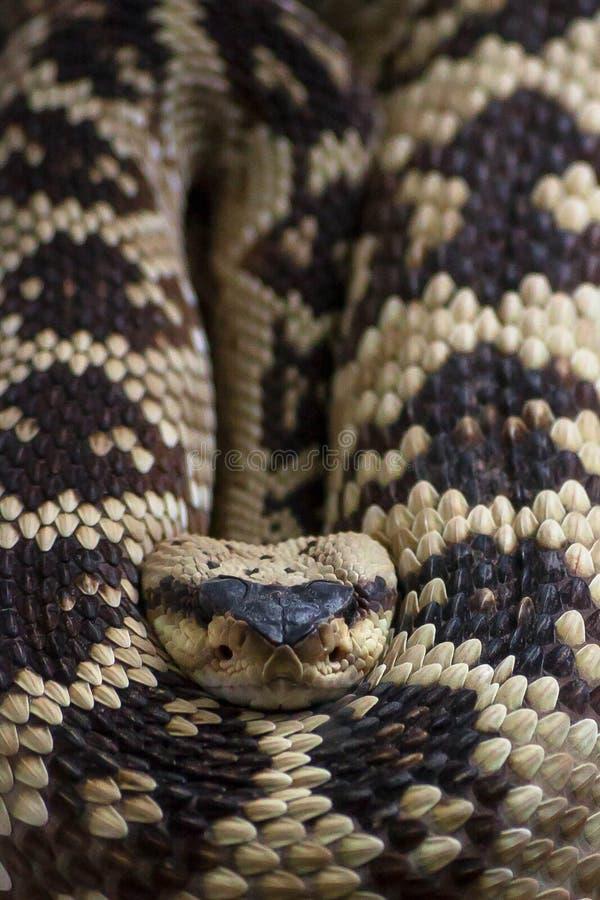 Grzechotnik, Crotalus molossus fotografia stock