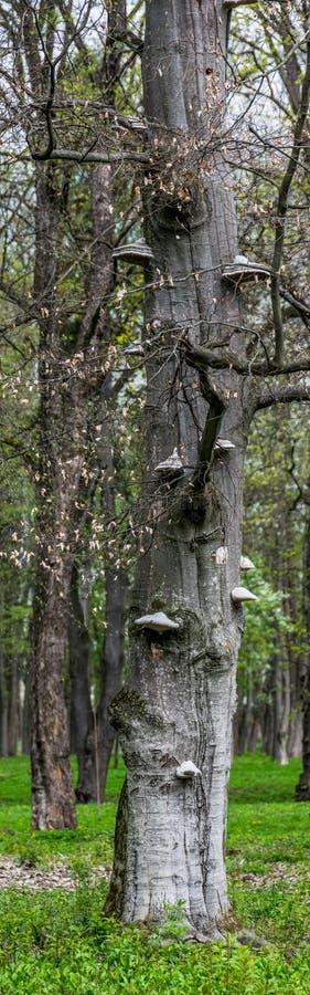 Grzyba afektowany masywny drzewo Pionowo panorama obrazy royalty free