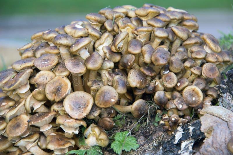 grzybowy miód obrazy stock