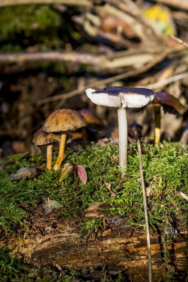 Grzyby w Savernake Lasowy Wiltshire Anglia, Zjednoczone Królestwo - zdjęcia royalty free