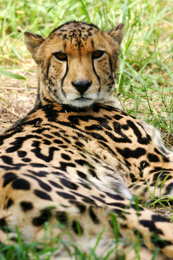 Guépard africain images stock