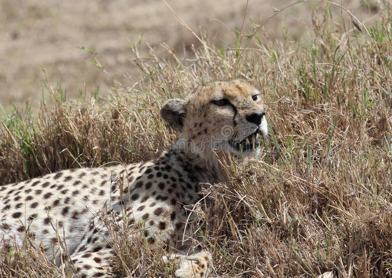 Guépard africain image stock