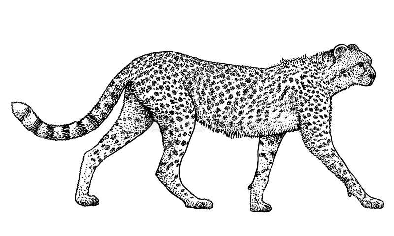 Gu pard animal illustration mammif re dessin gravure - Guepard dessin ...