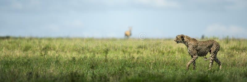 Guépard attentif, Serengeti, Tanzanie image libre de droits