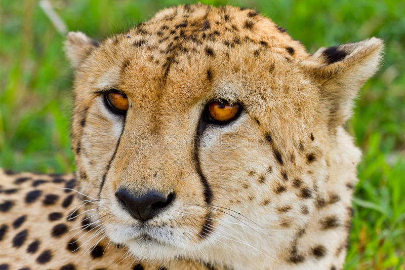 Guépard au Kenya photographie stock