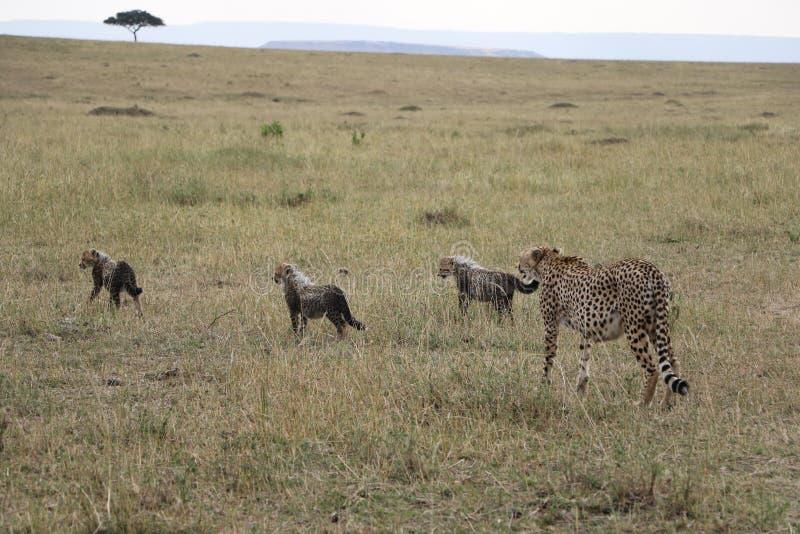Guépard avec trois petits animaux dans le maasai sauvage Mara photo libre de droits