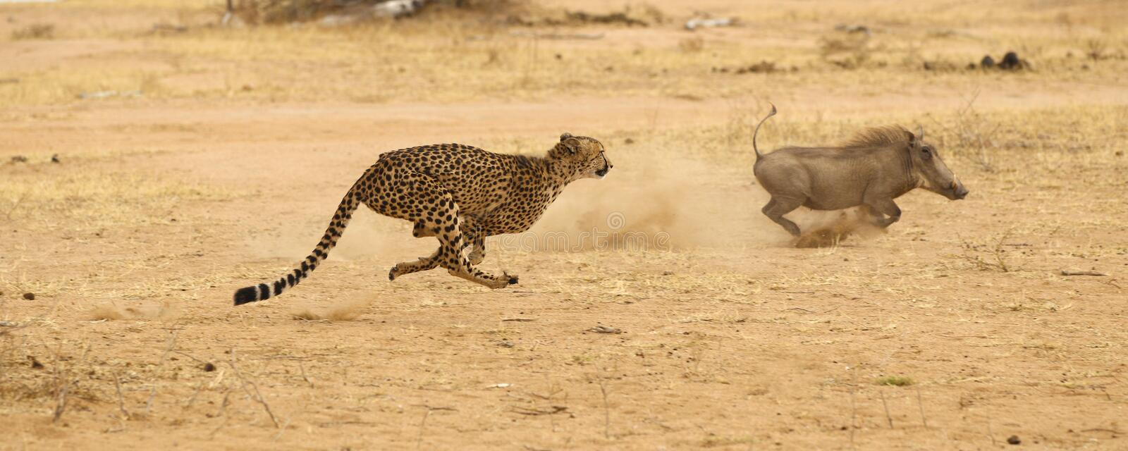 Guépard chassant le warthog photographie stock