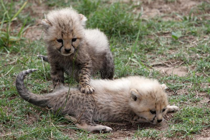 Guépard Cubs photographie stock