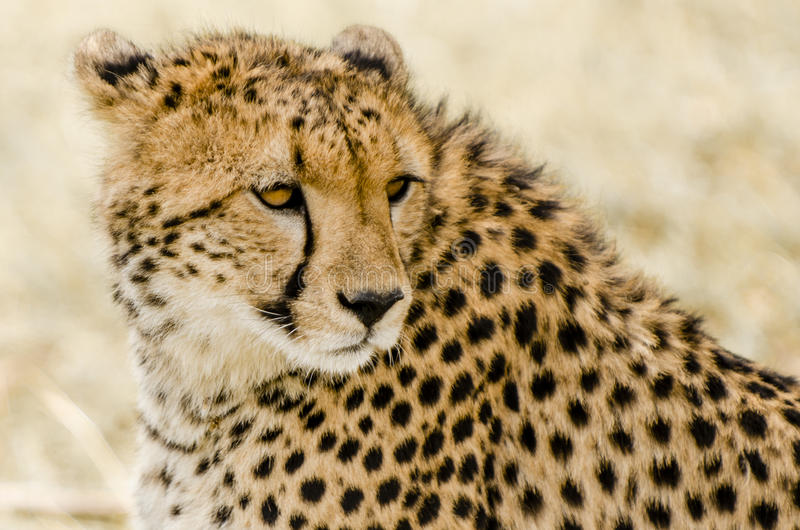 Guépard dans le masai Mara image stock