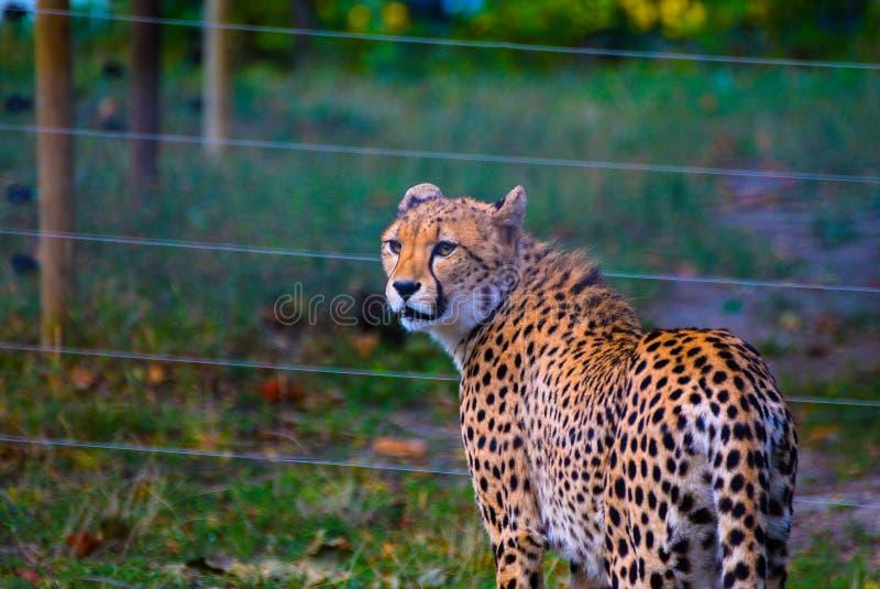 Guépard dans le Schönbrunn-zoo, Vienne photographie stock libre de droits