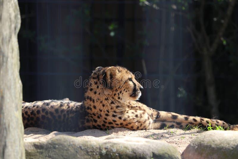 Guépard dans le zoo à Stuttgart photos libres de droits