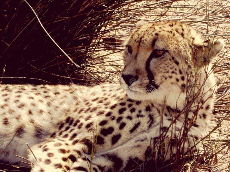 Guépard de l'Afrique du Sud photos libres de droits