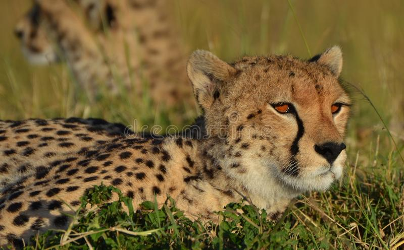 Guépard de Serengeti photo stock