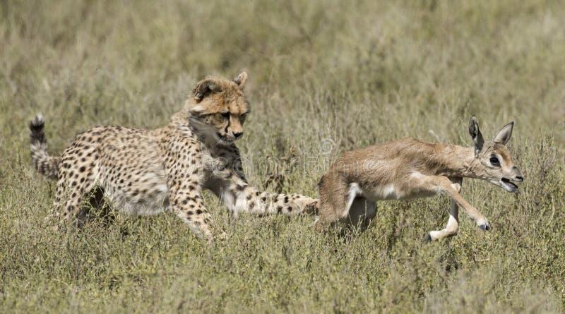 Guépard et petits animaux apprenant à chasser photographie stock