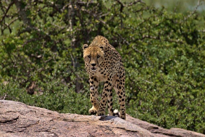 Guépard fonctionnant vers nous sur le Serengeti images stock