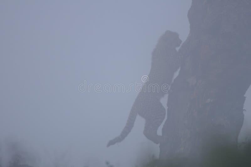 Guépard grimpant à un arbre dans la brume photographie stock
