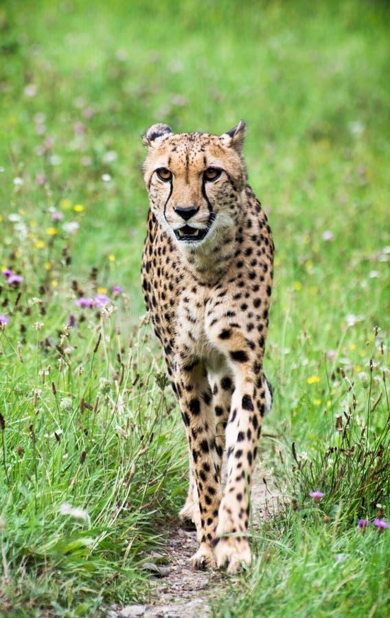 Guépard (jubatus d'Acinonyx) photographie stock
