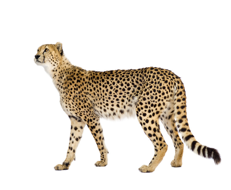 Guépard - jubatus d'Acinonyx photos stock