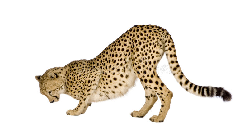 Guépard - jubatus d'Acinonyx photo stock