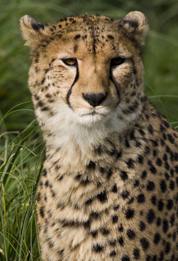 Guépard (jubatus d'Acinonyx) - Botswana photos stock
