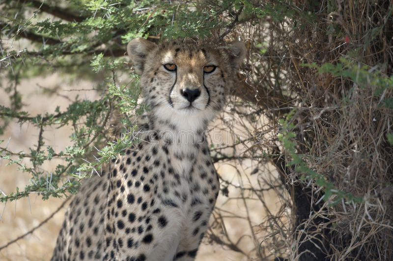 Guépard, jubatus d'Acinonyx, dans le national de Serengeti photo libre de droits