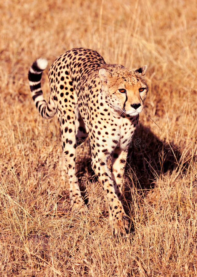 Guépard masculin dans le masai Mara photos stock