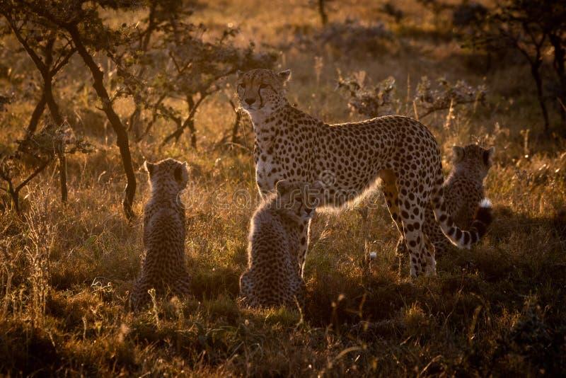 Guépard rétro-éclairé gardant trois petits animaux au coucher du soleil images stock