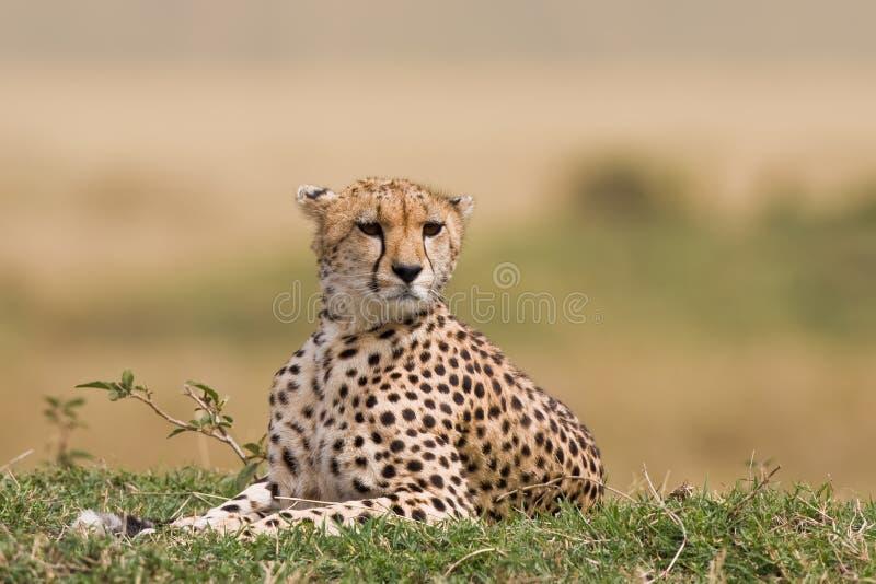 Guépard sur le masai Mara photographie stock