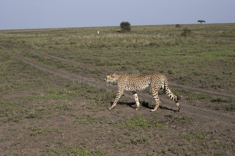 Guépard sur le vagabondage dans Serengeti, Tanzanie photographie stock