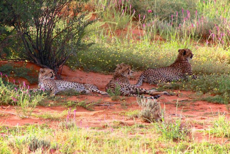 Guépard trois au parc franchissant les frontières de kgalagadi photo stock