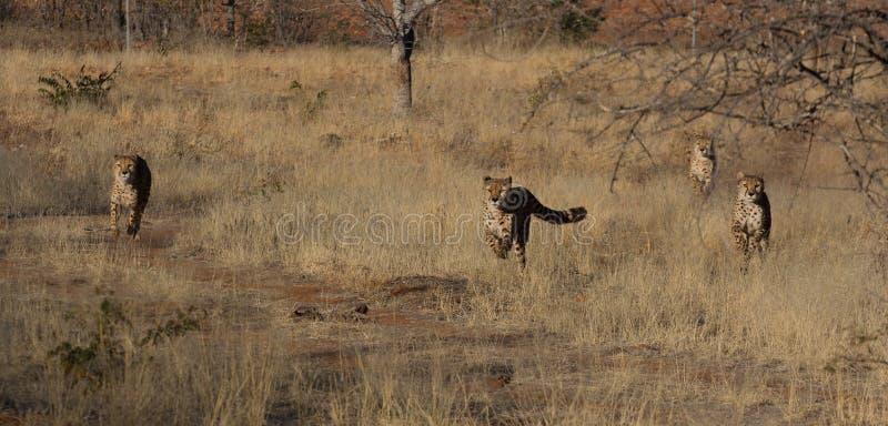 Guépards de chasse photos stock