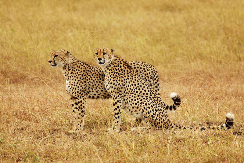 Guépards de Mara de masai photographie stock libre de droits