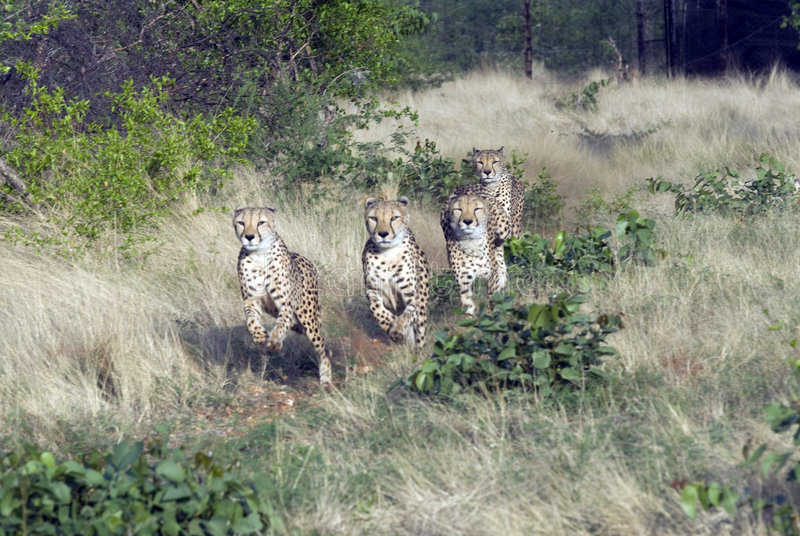 guépards Namibie photos libres de droits