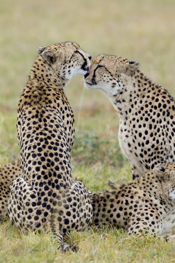 Guépards se toilettant, Afrique du Sud image libre de droits