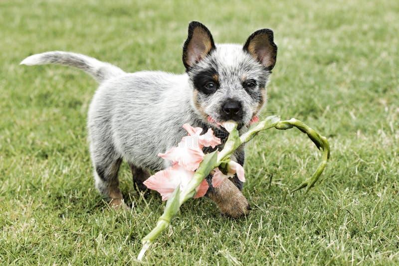 Guérisseur bleu mignon avec la fleur dans la bouche photos stock